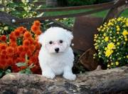Loving Bichon Frise needs Home