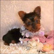 tea cup yorkie puppies for a caring home