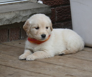 Golden Retriever Puppies - Ready for new homes May 20-27 2012