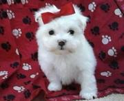 lovely maltese puppy on offer to good home